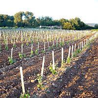 """Vignes au Domaine de La Tour du Bon, parcelle """"Chante perdrix"""""""